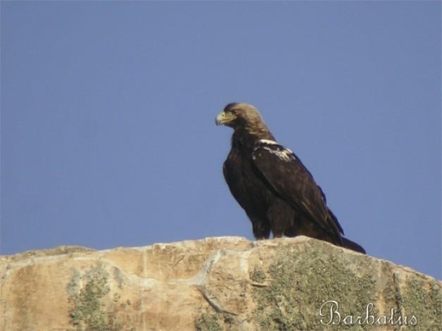 Foto Aguila Imperial