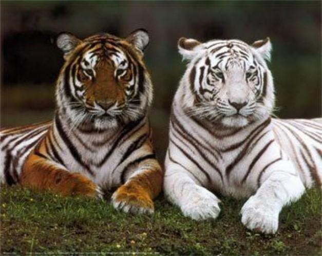 ¿Cuántos tipos de tigres hay y cuál es su tiempo de vida?