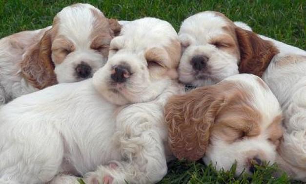 fotos-cachorros-perros-peq