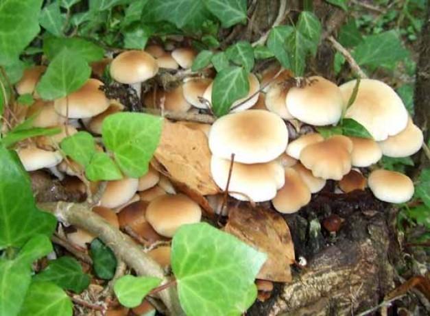 Setas en Alajar, en la Sierra de Huelva